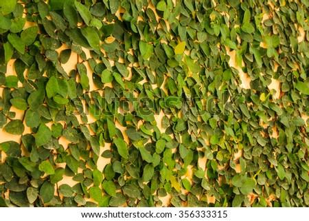 Green creeper on yellow wall - stock photo