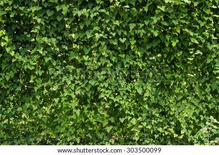 green creeper plant background - stock photo