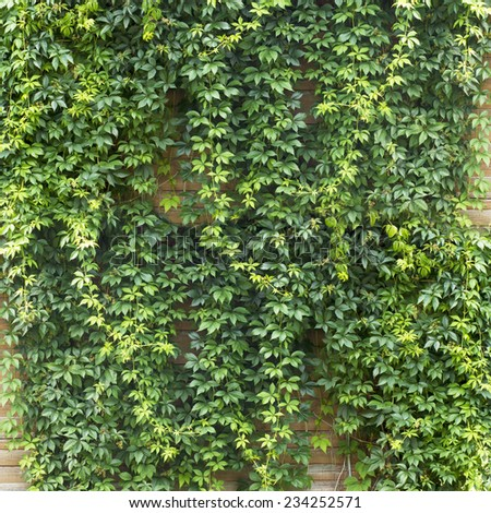 Green creeper plant, brown plank wall background - stock photo