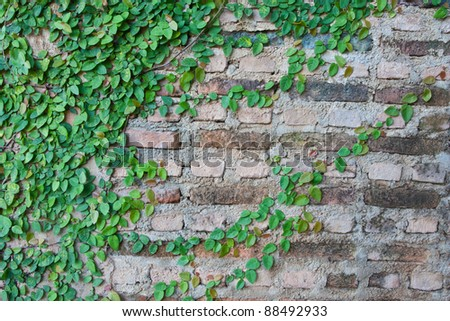 Green Creeper Plant growing on a brick wall - stock photo