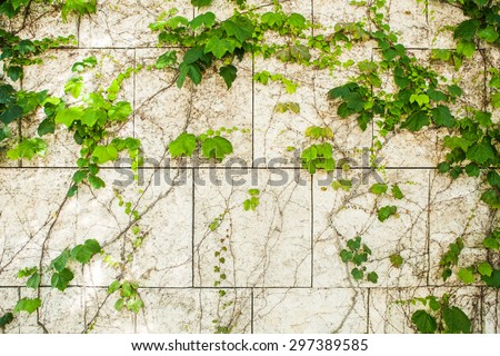Green creeper plant on brick white wall - stock photo