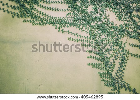 Green creeper plant on cement wall - stock photo