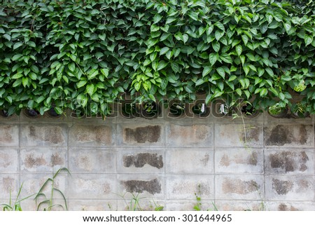 Green creeper plant on white concrete block wall background texture - stock photo