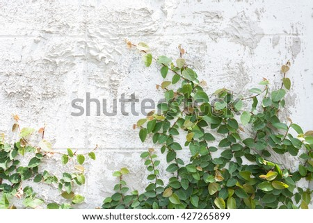 Green Creeper Plant on white wall - stock photo