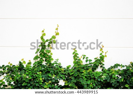 Green creeper plant on white wall