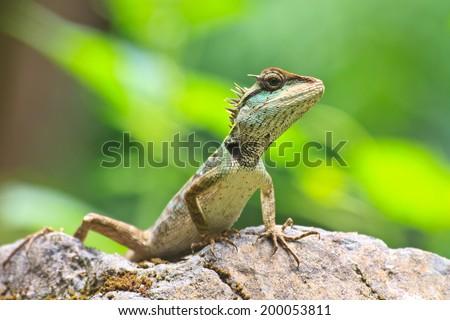 Green crested lizard, black face lizard, tree lizard - stock photo