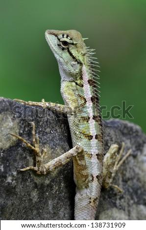 Green crested lizard, black face lizard, tree lizard,Boulenger Long headed Lizard, Pseudocalotes microlepis, masked spiny lizard, blue lizard - stock photo