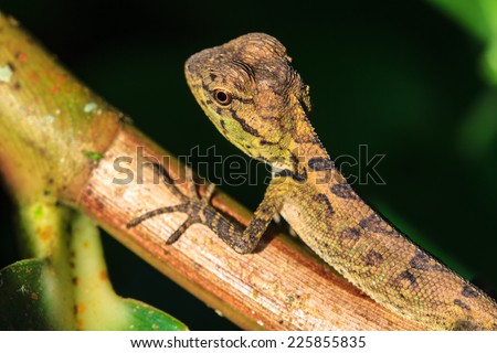Green crested lizard, black face lizard, tree lizard on tree - stock photo