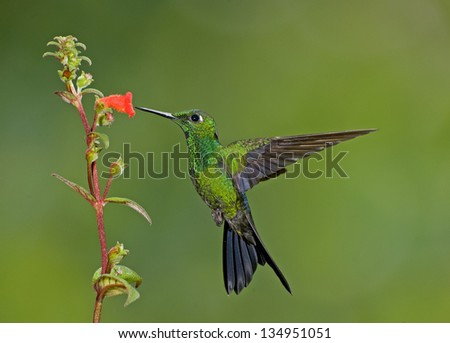 Green-crowned Brilliant hummingbird at red flower. - stock photo