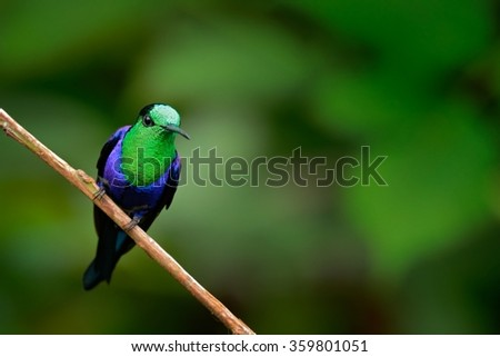 Green-crowned woodnymph, Thalurania colombica fannyi, hummingbird in the Colombia tropic forest, blue an green glossy bird in the nature habitat - stock photo