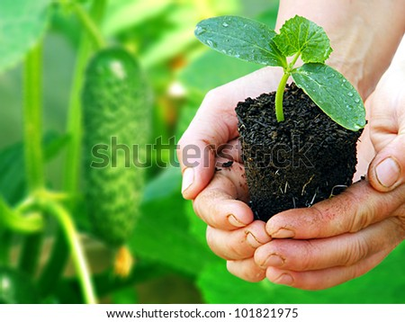 Green cucumber plant in arms with green background - stock photo