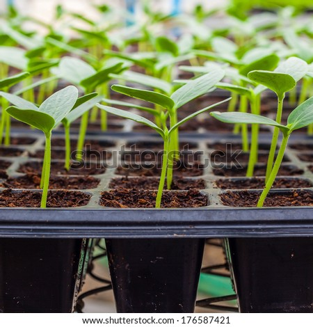 Green Cucumber seedling on tray close up - stock photo