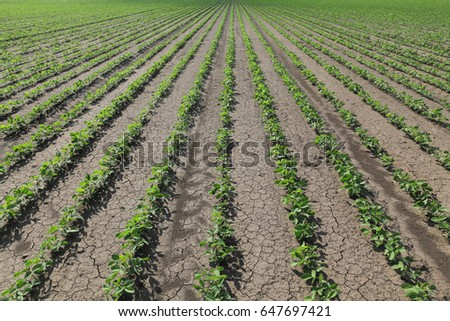 Green cultivated soy bean plant in field, spring time