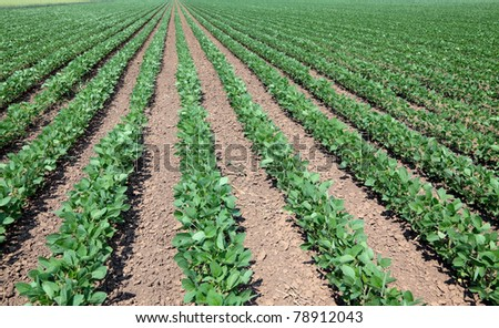 Green cultivated soy field in early summer