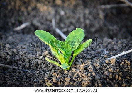 Green cultivated soy plant close up - stock photo