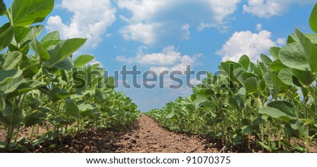 Green cultivated soy plant field in early summer - stock photo