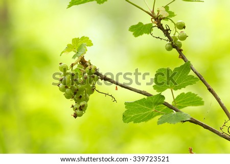 Green currants on twig, vibrant background - stock photo