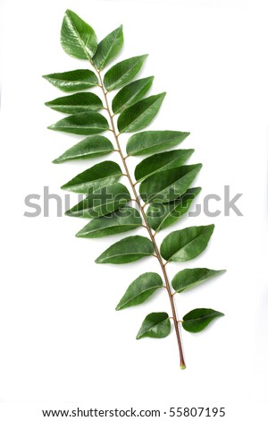 Green curry Leaf on white - stock photo