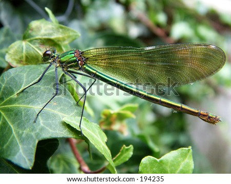 Green Damsel Fly - stock photo
