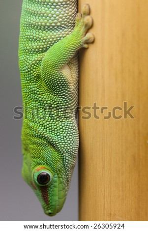 green day gecko head first - stock photo
