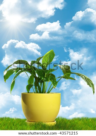 Green decorative plant in yellow flowerpot standing on grass. With cloudscape background. - stock photo