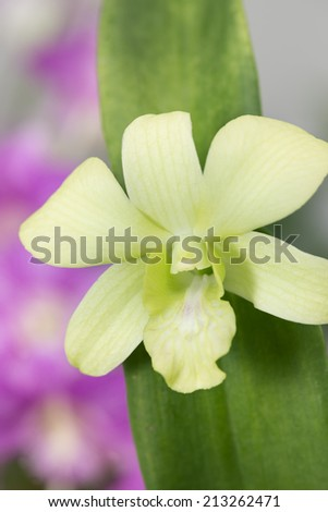 Green dendrobium orchid with green leaves close up - stock photo