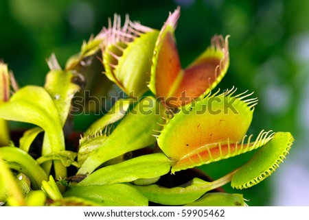 Green Dionaea muscipula , known as flytrap, in closeup, isolated on nature background - stock photo