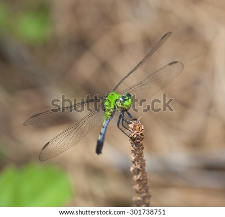 Green dragonfly on a stick that looks like it is smiling - stock photo