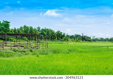 Green ear of rice in paddy rice field under blue sky