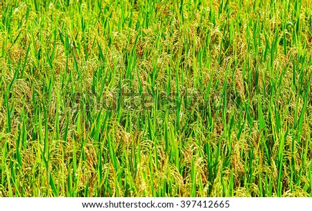 Green ear of rice in paddy rice field under sunrise summer - stock photo