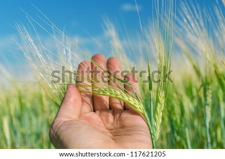 green ear of wheat in hand - stock photo