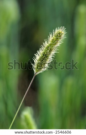 Green ear with back light and low depth of field - stock photo