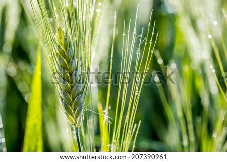 Green ears of corn in a field - stock photo