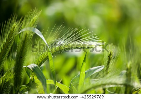 green ears of corn on the grass on the nature - stock photo