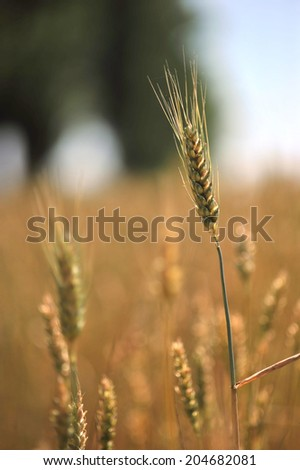 green ears of wheat - stock photo