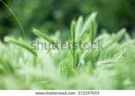 green ears of wheat - stock photo