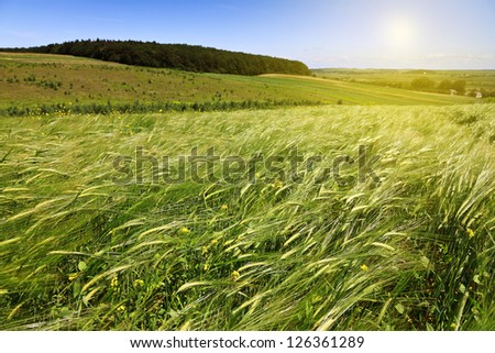 green ears of wheat on the field - stock photo