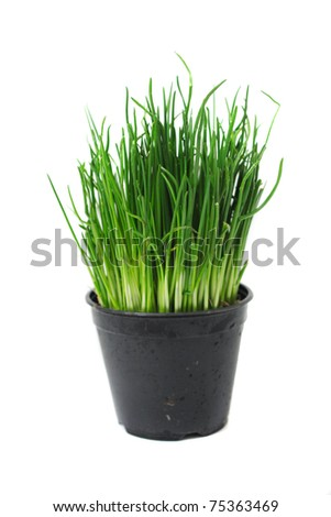 green easter grass in pot