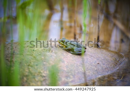 green edible frog, also known as the Common Water Frog , sits on a stone. Edible frogs are hybrids of pool frogs and marsh frogs. - stock photo