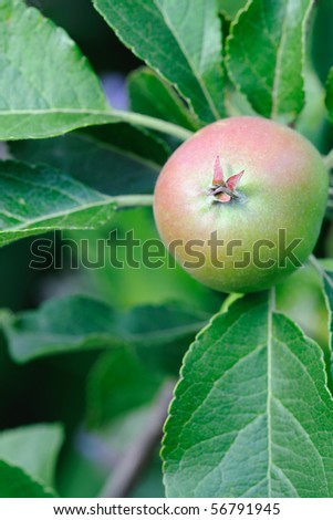 Green English eatiing apple, with a red blush, growing on a tree