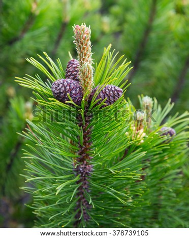 Green escapes of a fir-tree with cones - stock photo
