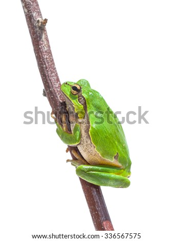 Green European Tree Frog (Hyla arborea) climbing in a stick, isolated on white background - stock photo