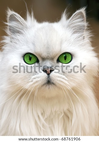 Green Eyes of a persian cat - stock photo