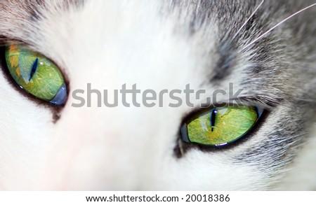 green eyes of white cat closeup texture - stock photo