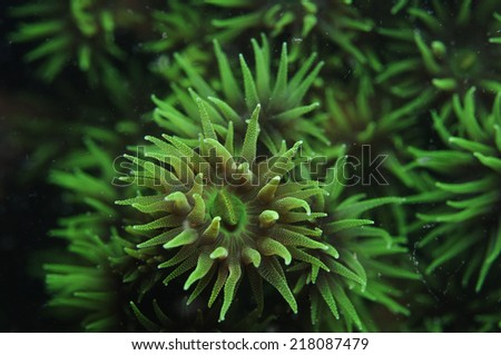 Green fan coral in cebu, Philippines. - stock photo