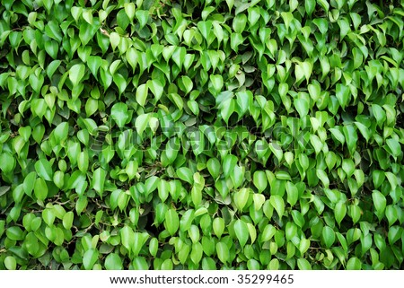 Green fence from rubber plant trees - stock photo