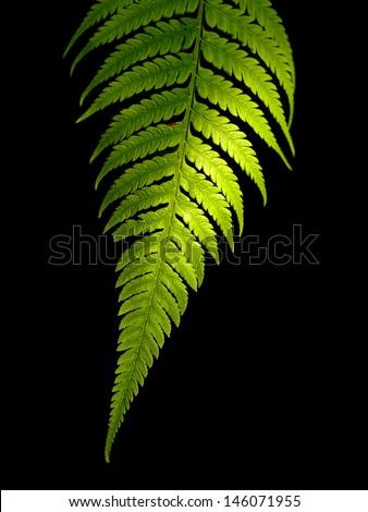 Green Fern Leaf on black background - stock photo