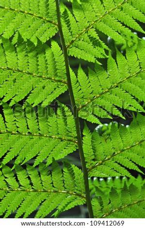 green fern leaves in rainforest - stock photo