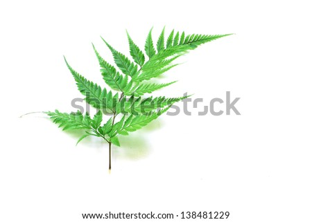 Green fern on white background - stock photo