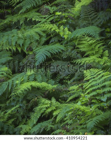 Green ferns in the Garajonay National Park on the island of La Gomera, Canary Islands. The National Park is a UNESCO World Heritage Site. - stock photo
